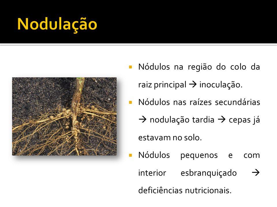  Nódulos na região do colo da raiz principal  inoculação.  Nódulos nas raízes secundárias  nodulação tardia  cepas já estavam no solo.  Nódulos