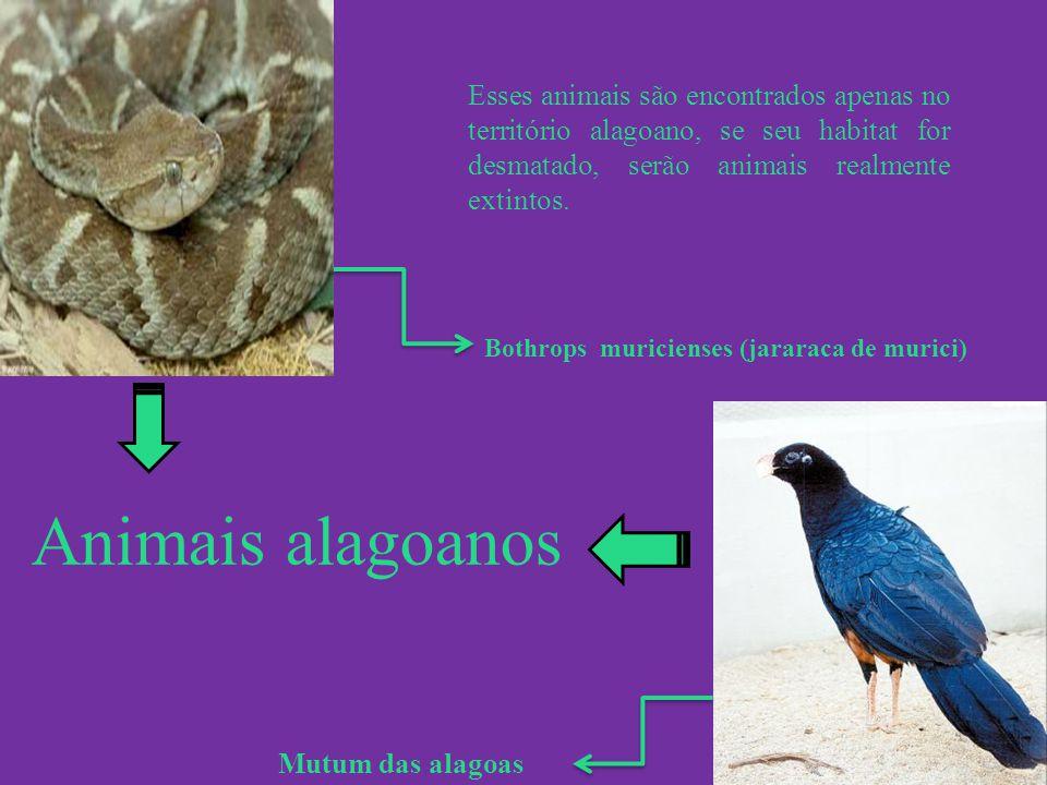 Animais alagoanos Mutum das alagoas Esses animais são encontrados apenas no território alagoano, se seu habitat for desmatado, serão animais realmente