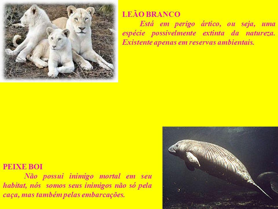LEÃO BRANCO Está em perigo ártico, ou seja, uma espécie possivelmente extinta da natureza. Existente apenas em reservas ambientais. PEIXE BOI Não poss