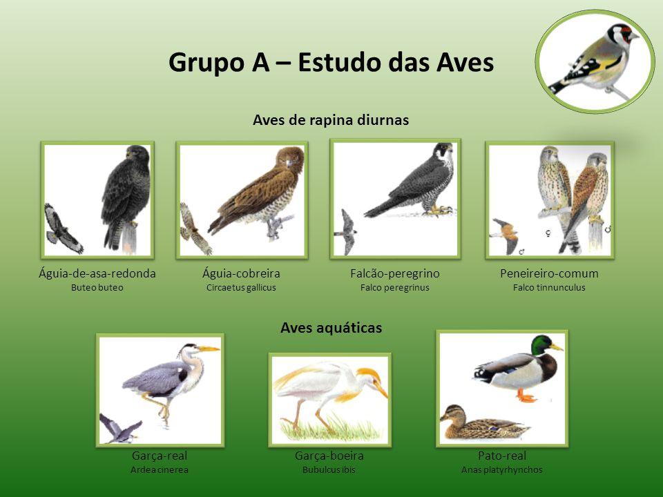 Grupo A – Estudo das Aves Aves de rapina diurnas Aves aquáticas Águia-de-asa-redonda Buteo buteo Águia-cobreira Circaetus gallicus Falcão-peregrino Fa