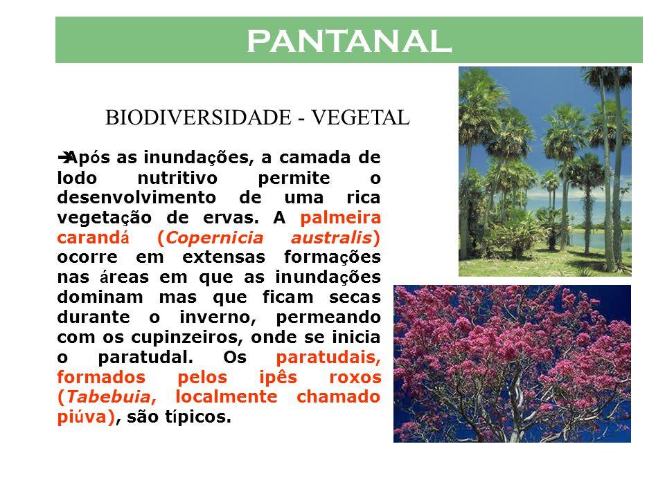 PANTANAL  A vegeta ç ão aqu á tica é fundamental para a vida pantaneira. As plantas flutuantes são os principais produtores prim á rios nas á guas do