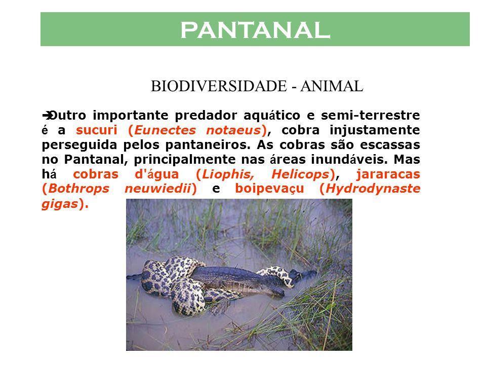 PANTANAL  Os jacar é s têm papel importante nas á guas pantaneiras, onde funcionam como predadores
