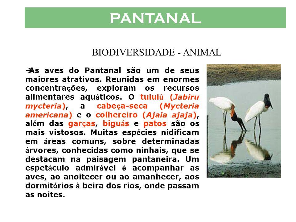 PANTANAL  Outro importante predador aqu á tico e semi-terrestre é a sucuri (Eunectes notaeus), cobra injustamente perseguida pelos pantaneiros. As co