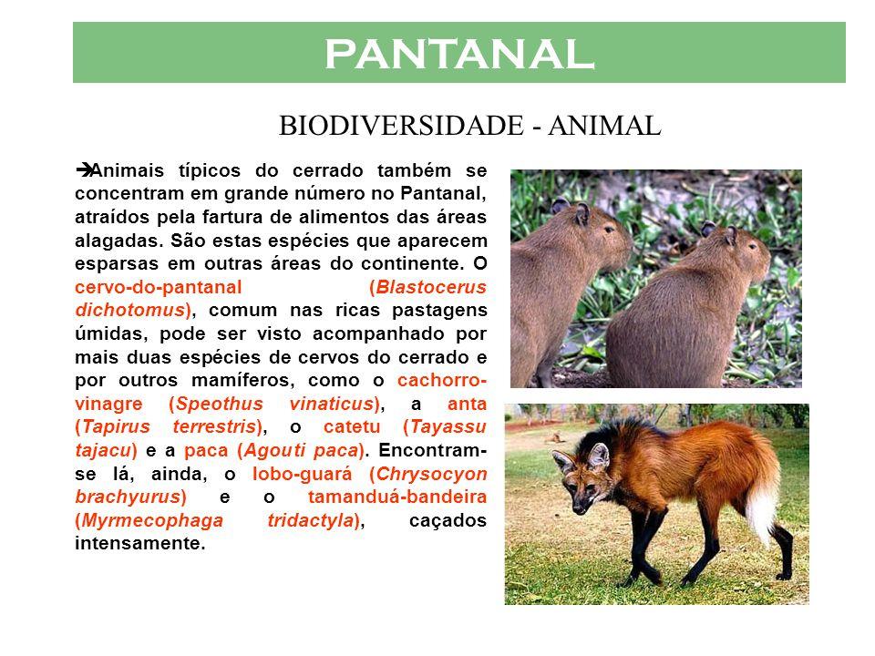 PANTANAL  Aves t í picas do Pantanal são tamb é m o aracuã-do- pantanal (Ortalis canicollis), a arara-azul (Anodorhyncus hyacinthinus), que corre o r