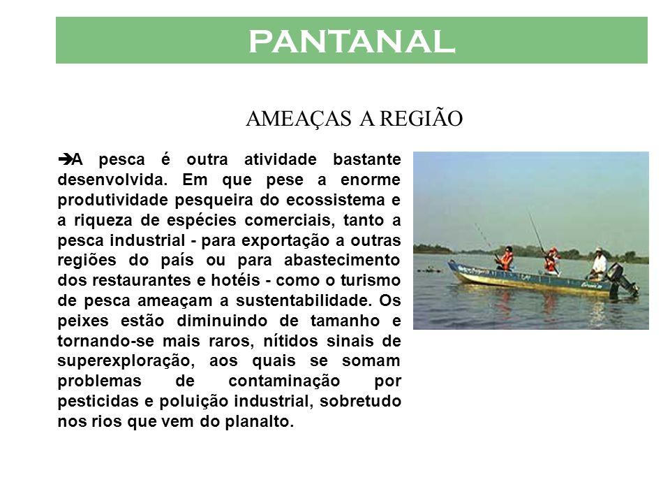 PANTANAL  A moderniza ç ão da pecu á ria trouxe a divisão de terras, variedades ex ó ticas de capim e a necessidade de interferir no fluxo das á guas