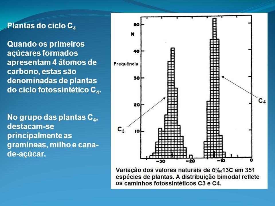 Plantas do ciclo C 4 Quando os primeiros açúcares formados apresentam 4 átomos de carbono, estas são denominadas de plantas do ciclo fotossintético C