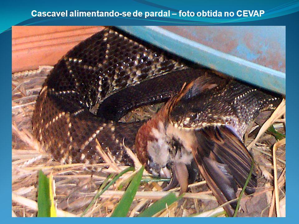 Cascavel alimentando-se de pardal – foto obtida no CEVAP