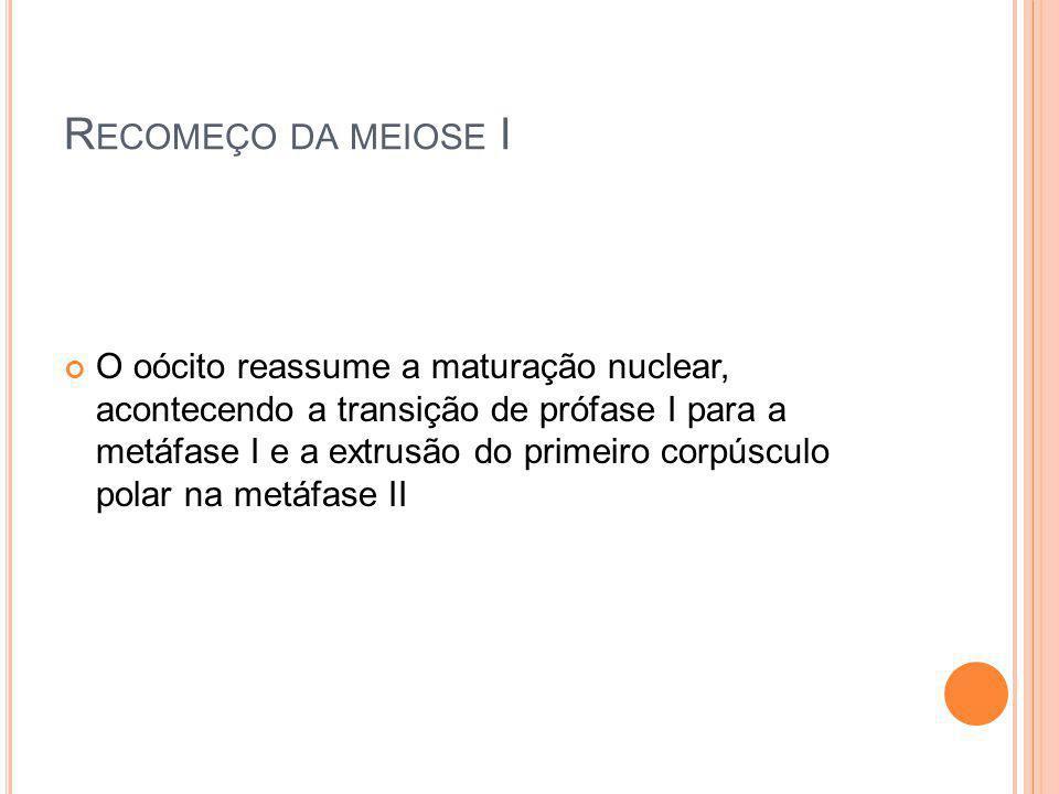 R ECOMEÇO DA MEIOSE I O oócito reassume a maturação nuclear, acontecendo a transição de prófase I para a metáfase I e a extrusão do primeiro corpúscul