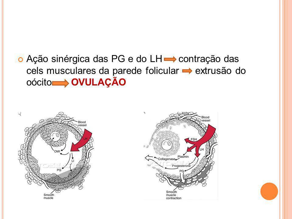 Ação sinérgica das PG e do LH contração das cels musculares da parede folicular extrusão do oócito OVULAÇÃO