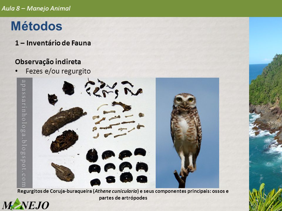 1 – Inventário de Fauna Observação indireta • Fezes e/ou regurgito Aula 8 – Manejo Animal Métodos Regurgitos de Coruja-buraqueira (Athene cunicularia)