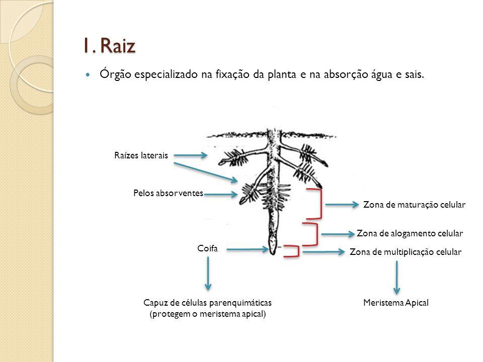 1. Raiz  Órgão especializado na fixação da planta e na absorção água e sais. Coifa Pelos absorventes Raízes laterais Zona de multiplicação celular Zo
