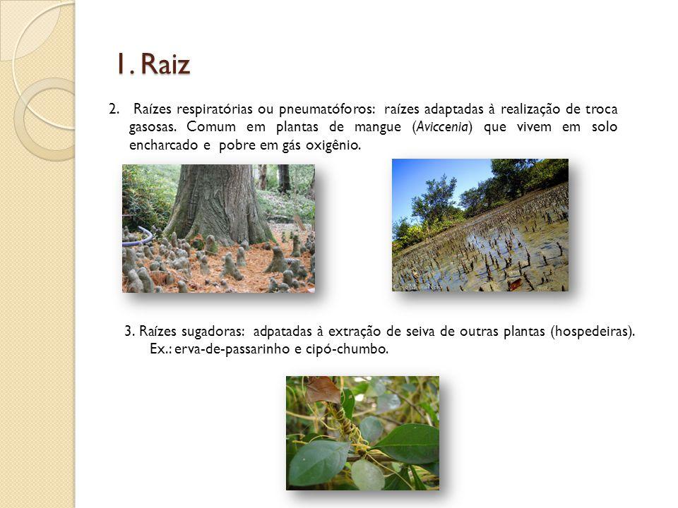 1. Raiz 2. Raízes respiratórias ou pneumatóforos: raízes adaptadas à realização de troca gasosas. Comum em plantas de mangue (Aviccenia) que vivem em