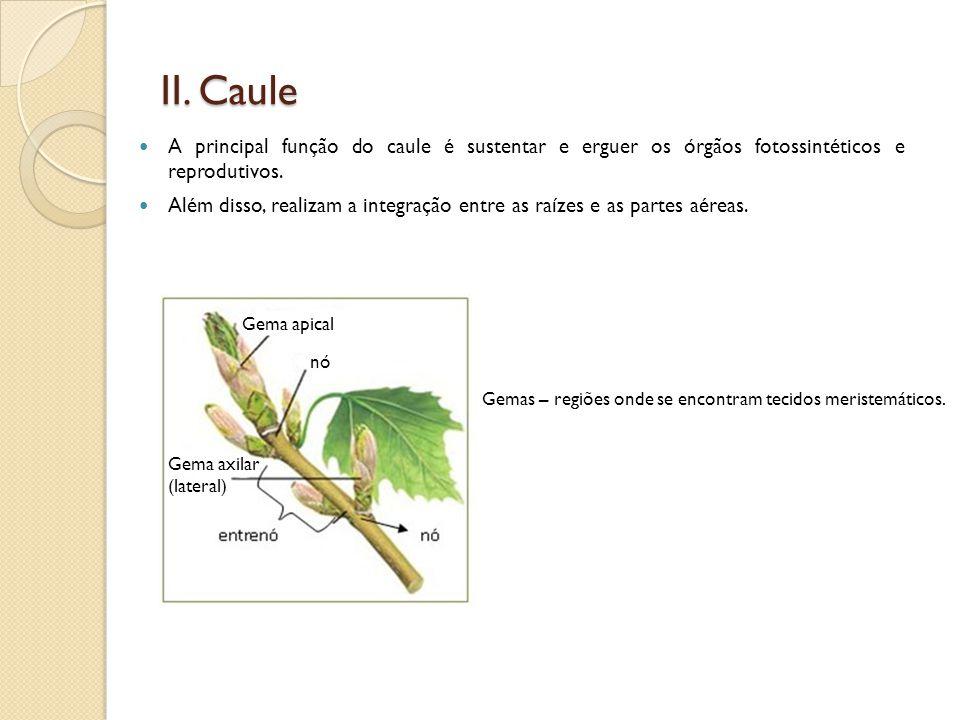 Gema apical Gema axilar (lateral) II. Caule  A principal função do caule é sustentar e erguer os órgãos fotossintéticos e reprodutivos.  Além disso,