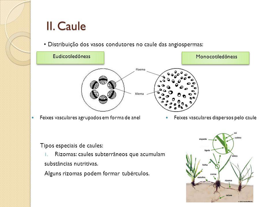 II. Caule • Distribuição dos vasos condutores no caule das angiospermas: Eudicotiledôneas Monocotiledôneas  Feixes vasculares agrupados em forma de a