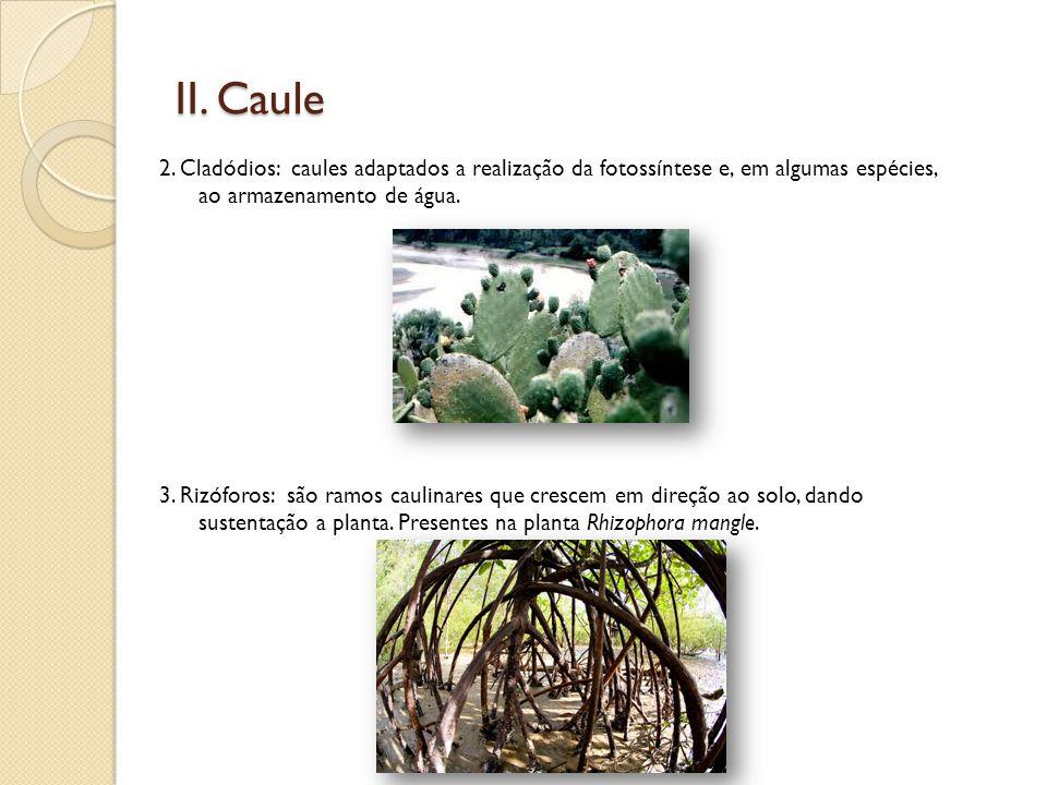 II. Caule 2. Cladódios: caules adaptados a realização da fotossíntese e, em algumas espécies, ao armazenamento de água. 3. Rizóforos: são ramos caulin