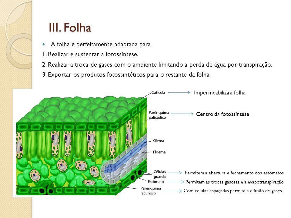 III. Folha  A folha é perfeitamente adaptada para 1. Realizar e sustentar a fotossíntese. 2. Realizar a troca de gases com o ambiente limitando a per