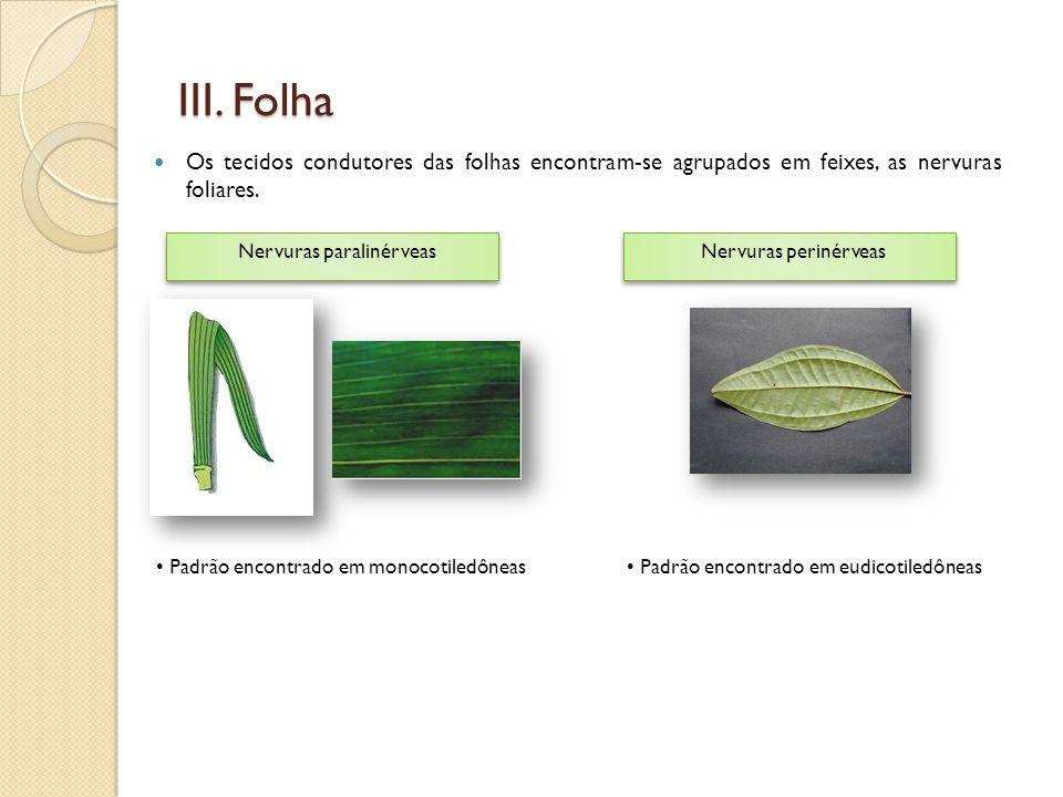 III. Folha  Os tecidos condutores das folhas encontram-se agrupados em feixes, as nervuras foliares. Nervuras paralinérveas Nervuras perinérveas • Pa
