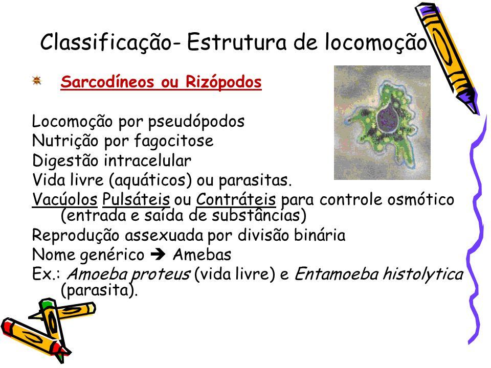 Classificação- Estrutura de locomoção Sarcodíneos ou Rizópodos Locomoção por pseudópodos Nutrição por fagocitose Digestão intracelular Vida livre (aqu