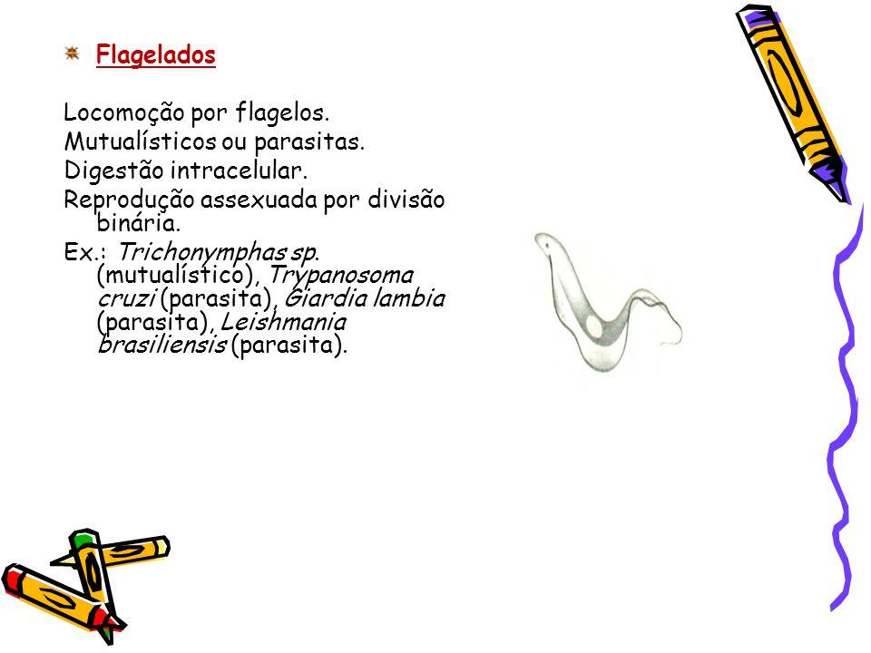 Flagelados Locomoção por flagelos. Mutualísticos ou parasitas. Digestão intracelular. Reprodução assexuada por divisão binária. Ex.: Trichonymphas sp.