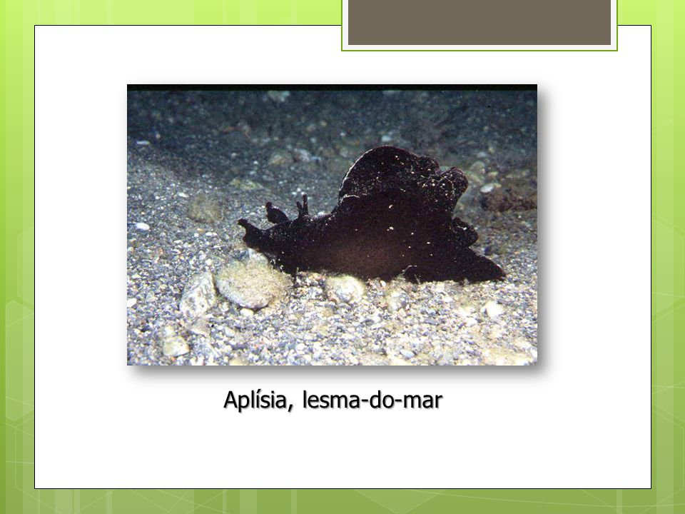 Aplísia, lesma-do-mar
