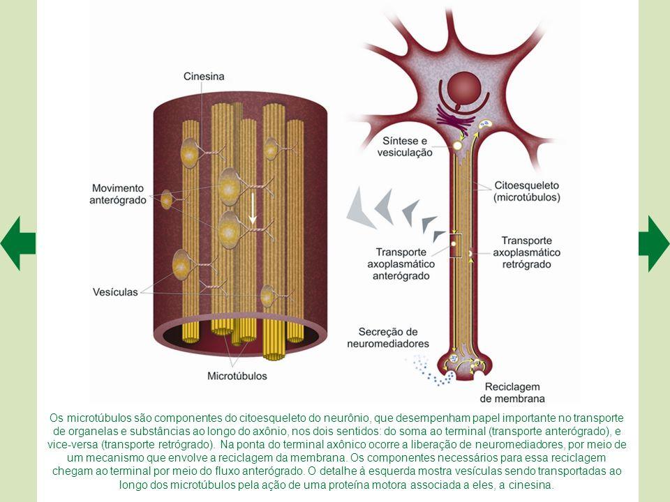 As espinhas dendríticas são diminutas protrusões que emergem dos troncos dendríticos principais (A). A foto A representa uma célula preenchida com um
