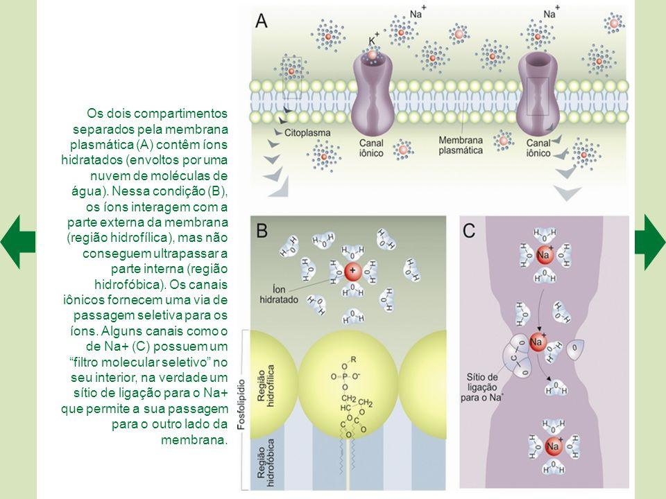 Os canais iônicos são proteínas, geralmente formadas por subunidades. Estas, por sua vez, podem ser formadas por motivos moleculares, isto é, sequênci