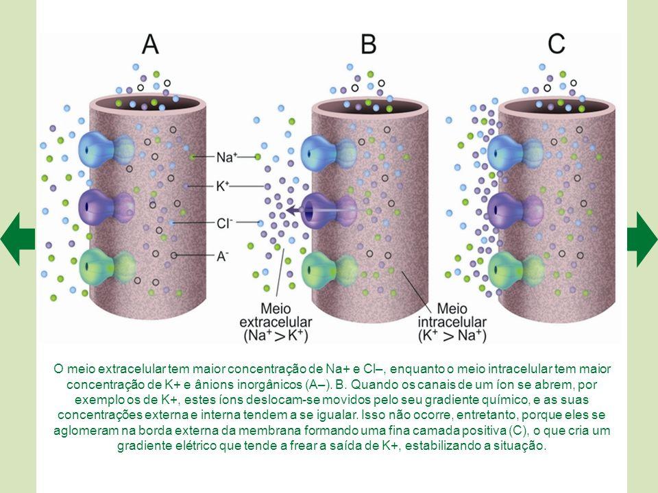 Os dois compartimentos separados pela membrana plasmática (A) contêm íons hidratados (envoltos por uma nuvem de moléculas de água). Nessa condição (B)