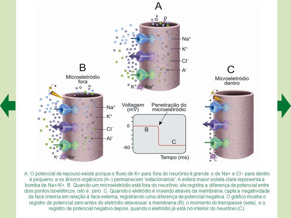 O meio extracelular tem maior concentração de Na+ e Cl–, enquanto o meio intracelular tem maior concentração de K+ e ânions inorgânicos (A–). B. Quand