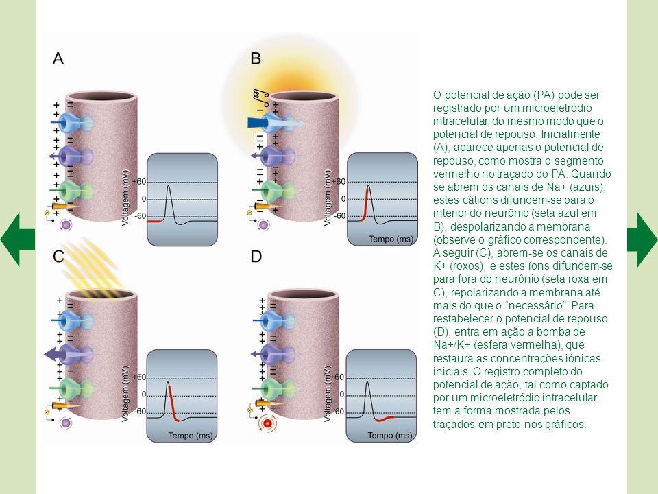 A. O potencial de repouso existe porque o fluxo de K+ para fora do neurônio é grande, o de Na+ e Cl− para dentro é pequeno, e os ânions orgânicos (A−)