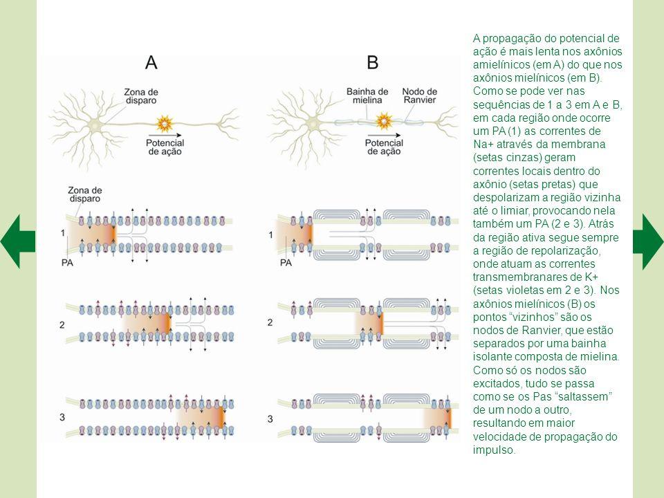 É possível reconstruir um neurônio completo a partir de cortes histológicos, usando um microscópio computadorizado. Neste exemplo obtido no rato, trat