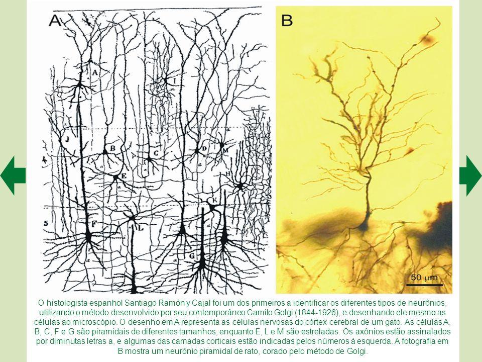 O histologista espanhol Santiago Ramón y Cajal foi um dos primeiros a identificar os diferentes tipos de neurônios, utilizando o método desenvolvido por seu contemporâneo Camilo Golgi (1844-1926), e desenhando ele mesmo as células ao microscópio.