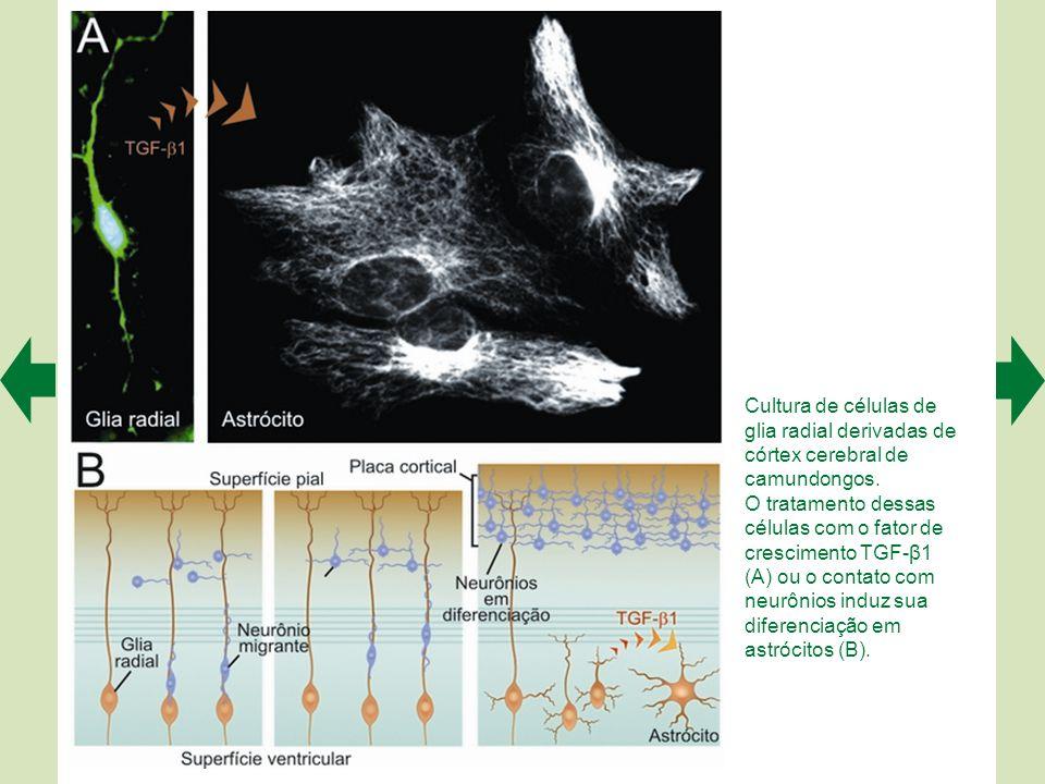 Os astrócitos têm múltiplas funções. Recobrem os vasos sanguíneos, participando da barreira hematoencefálica; envolvem as sinapses com pedículos que p
