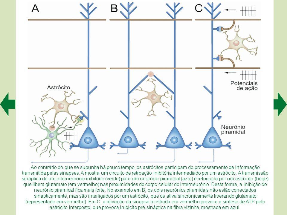 A mostra uma possível sinapse entre um astrócito liberador de glutamato e um neurônio, também no hipocampo. As setas apontam vesículas que presumivelm