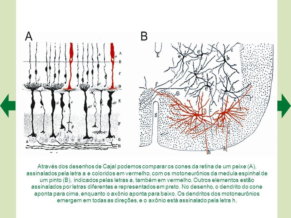Cajal observou e desenhou também os gliócitos. Neste caso, estão representados os astrócitos (C) e os oligodendrócitos (D) do cerebelo. As células B s