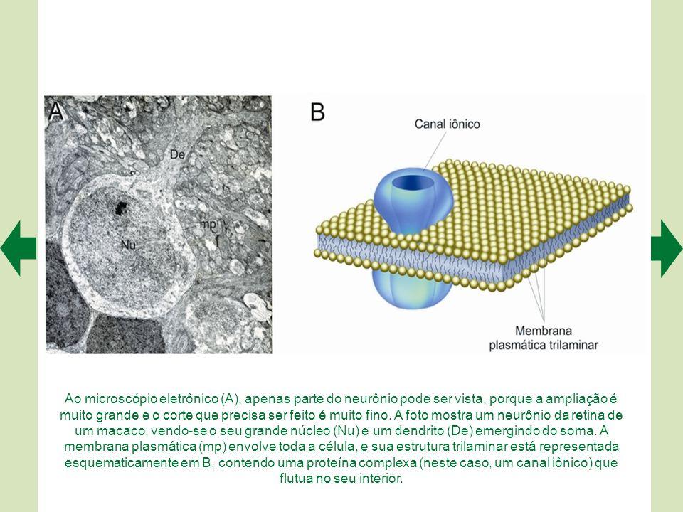 Através dos desenhos de Cajal podemos comparar os cones da retina de um peixe (A), assinalados pela letra a e coloridos em vermelho, com os motoneurôn