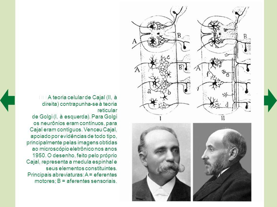  A teoria celular de Cajal (II, à direita) contrapunha-se à teoria reticular de Golgi (I, à esquerda).