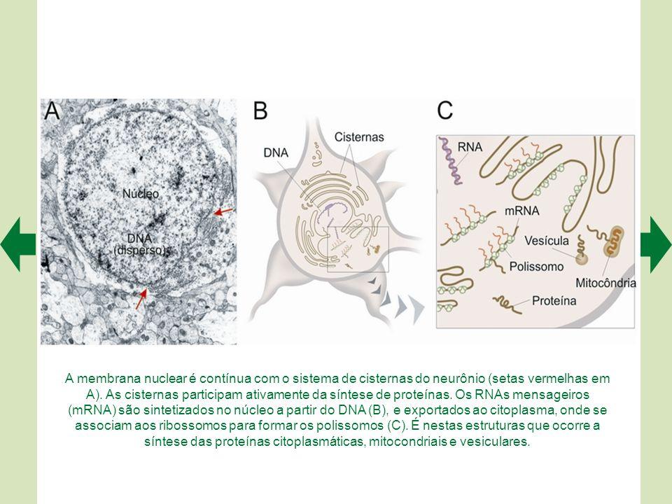 A membrana nuclear é contínua com o sistema de cisternas do neurônio (setas vermelhas em A).