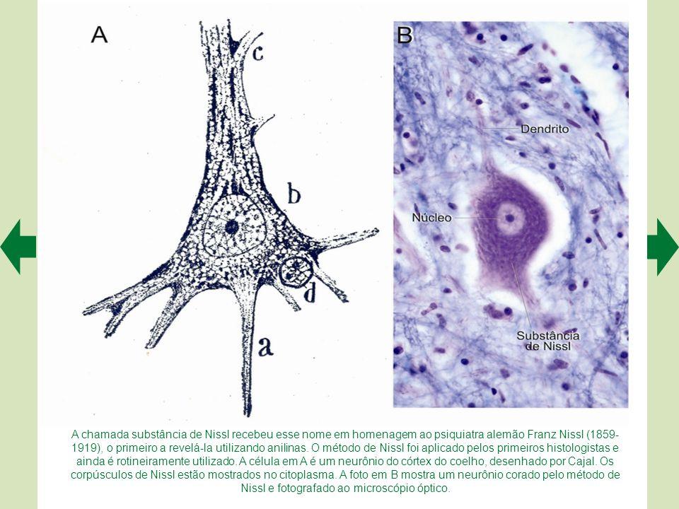 A membrana nuclear é contínua com o sistema de cisternas do neurônio (setas vermelhas em A). As cisternas participam ativamente da síntese de proteína