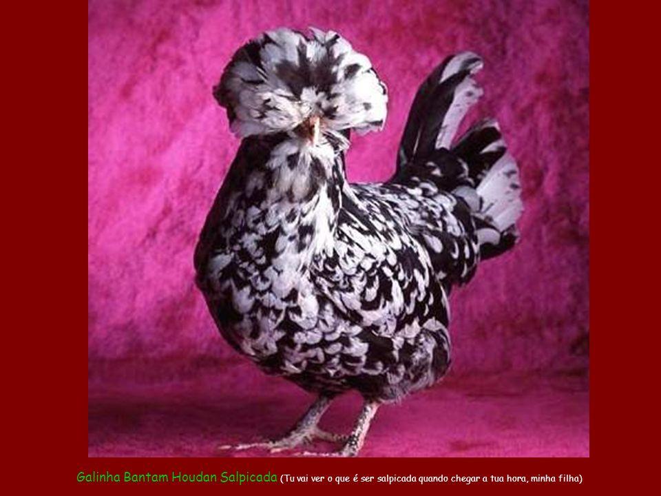 """Galo Crespo """"vira-lata"""" (mutt) (Vamos ver se com este novo penteado eu consigo enfim me enturmar com as galinhas de raça)"""