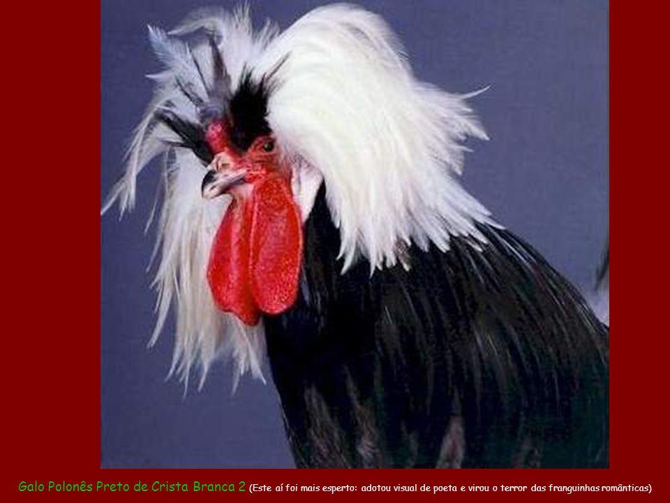 Galo Polonês Preto de Crista Branca 1 (Já este, coitado, como não consegue comer ninguém fica botando a culpa no cabelo)