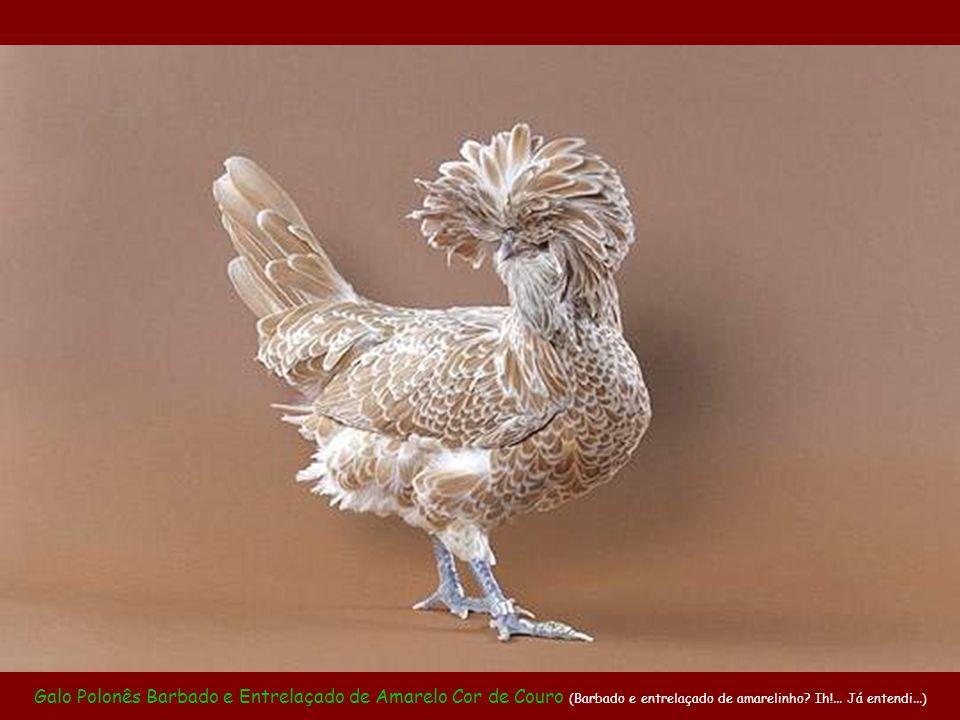 Galinha Polonesa Crespa Entrelaçada de Dourado (Esta é a perua do galinheiro. Tem sempre que ficar ostentando o ouro que tem)