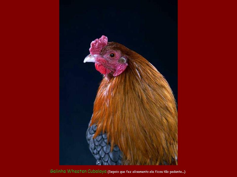 Galo Preto da Sumatra (Para este aí, galinheiro não resolve. Ele tem mesmo é de ficar numa jaula no quintal)