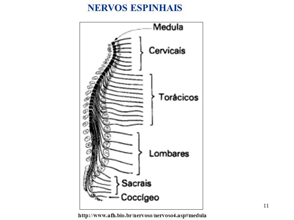 11 http://www.afh.bio.br/nervoso/nervoso4.asp#medula NERVOS ESPINHAIS