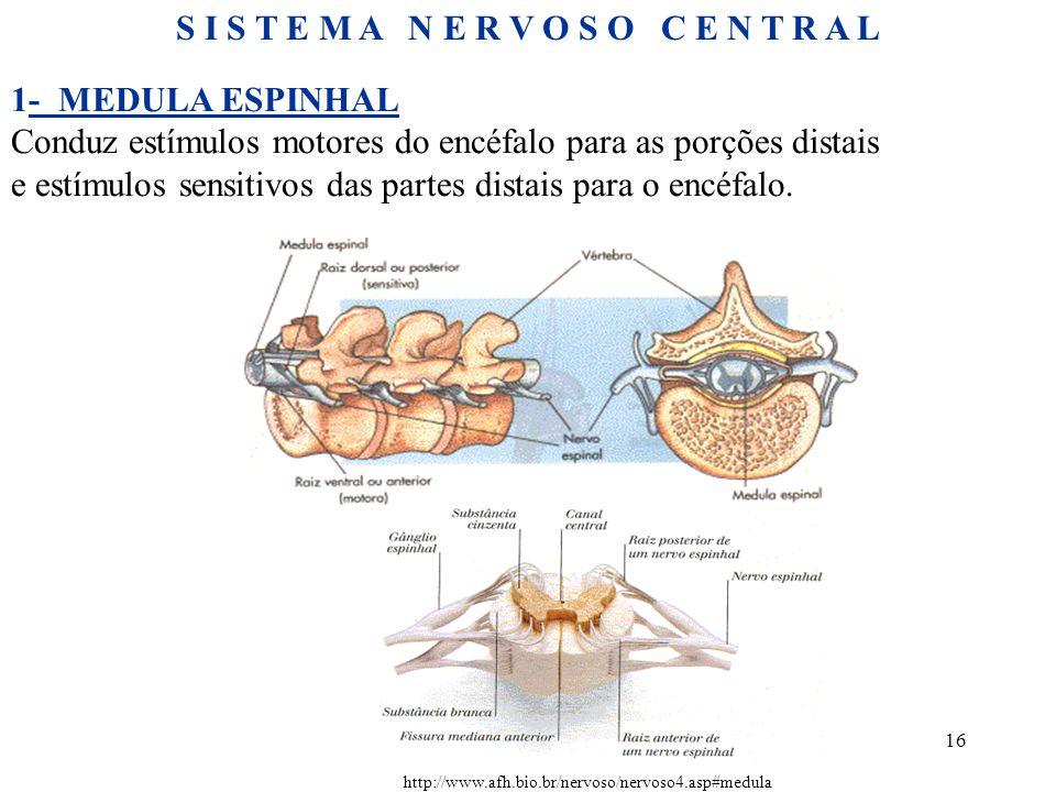 16 http://www.afh.bio.br/nervoso/nervoso4.asp#medula S I S T E M A N E R V O S O C E N T R A L 1- MEDULA ESPINHAL Conduz estímulos motores do encéfalo para as porções distais e estímulos sensitivos das partes distais para o encéfalo.