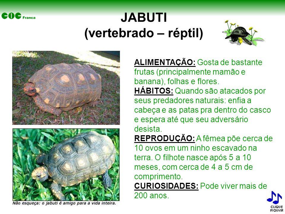 JABUTI (vertebrado – réptil) ALIMENTAÇÃO: Gosta de bastante frutas (principalmente mamão e banana), folhas e flores. HÁBITOS: Quando são atacados por