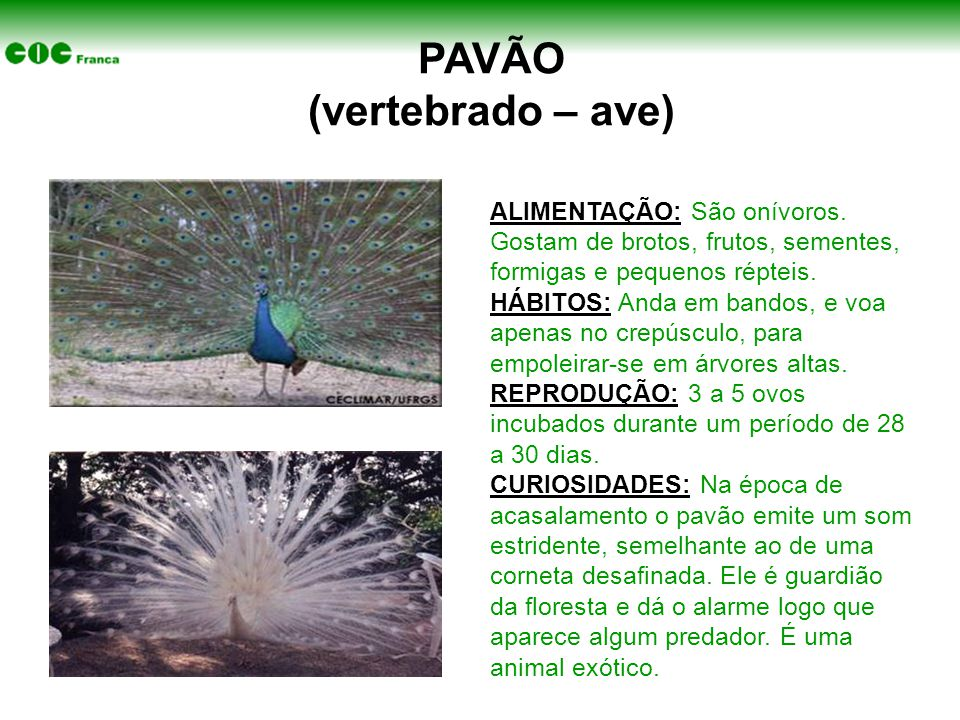PAVÃO (vertebrado – ave) ALIMENTAÇÃO: São onívoros. Gostam de brotos, frutos, sementes, formigas e pequenos répteis. HÁBITOS: Anda em bandos, e voa ap