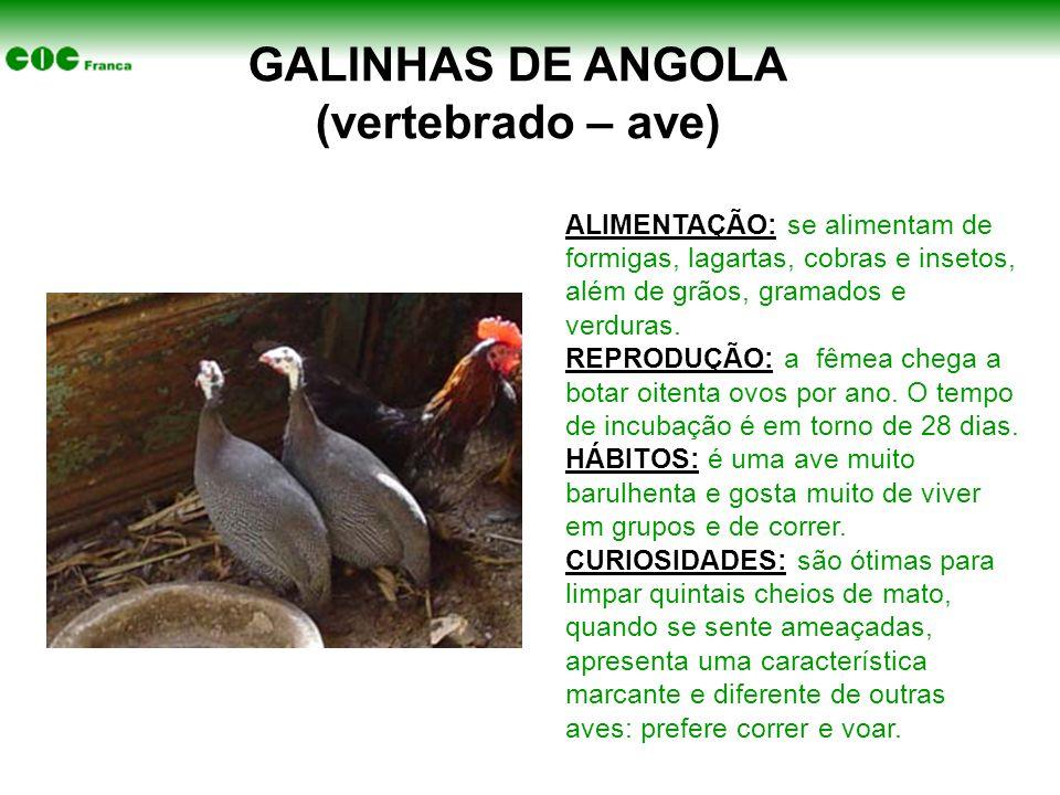 GALINHAS DE ANGOLA (vertebrado – ave) ALIMENTAÇÃO: se alimentam de formigas, lagartas, cobras e insetos, além de grãos, gramados e verduras. REPRODUÇÃ