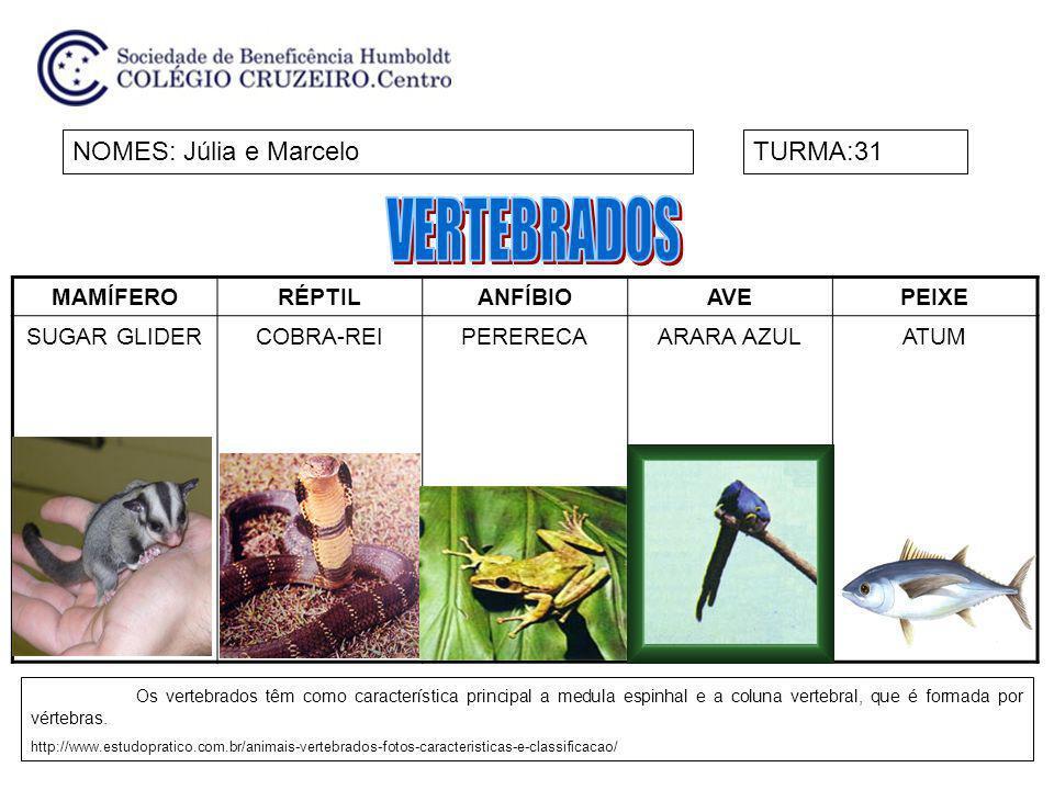 MAMÍFERORÉPTILANFÍBIOAVEPEIXE SUGAR GLIDERCOBRA-REIPERERECAARARA AZULATUM NOMES: Júlia e MarceloTURMA:31 Os vertebrados têm como característica princi