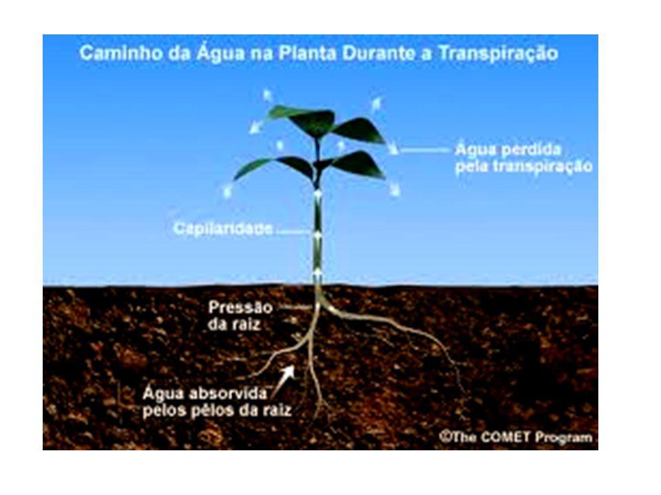 A transpiração é o processo pelo qual a planta expele água na forma de vapor, resfriando o corpo.