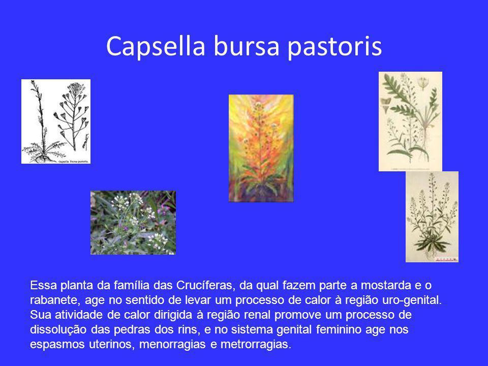 Quercus rubor